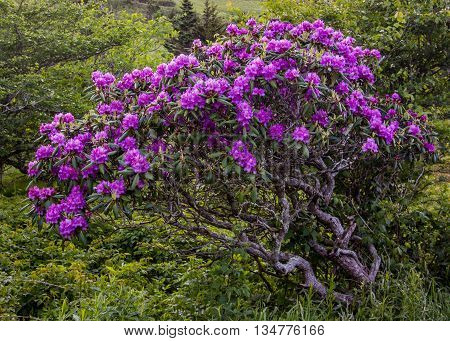 Gnarly Rhododendron Bush Covered in Blooms in Carvers Gap in the Roan highlands