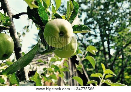 Pears hanging from a tree limb in front of a old shack.