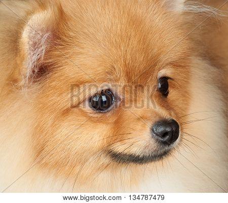 Close-up portrait of one red Pomeranian dog