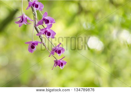 Wildflower Orchid,orchids Scientific Name Is Dendrobium Parishii Rchb.f.,orchid's Family Is Orchidac