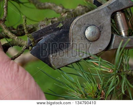 Artistic gardener hand trimming bonsai tree. Cleaning treetop from wrong twigs with heavy wide scissors. . Needle bonsai tree poster