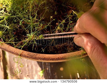 Gardener Hand Extract Weed With Pincers From Bonsai Pot