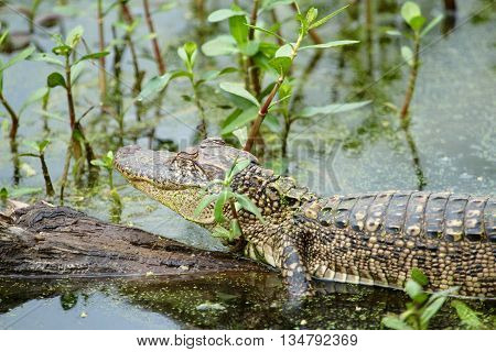 Alligator at Brazos Bend State Park in Texas
