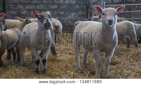 A collection of young lambs standing of a floor of straw hey