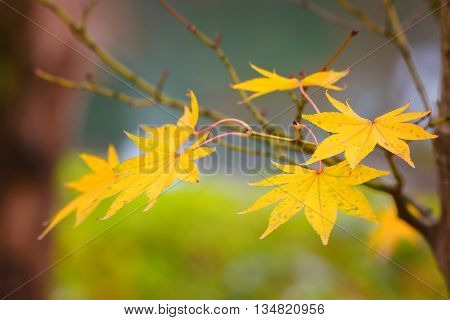 Colorful Maple Leaves with Green Background in Autumn