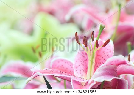 Pink lilium Sorbonne in full bloom with close up to the stigma filament and stamens