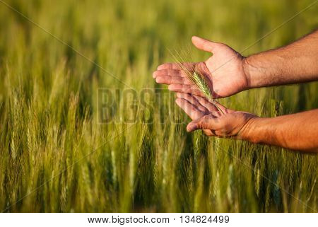 Farmers hands checking on his crop, shallow depth of field.