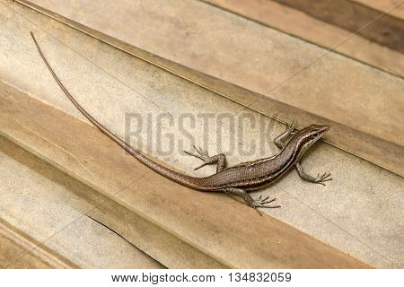 Trachylepis Seychellensis endemic species also called seychelles skink or Mabuya