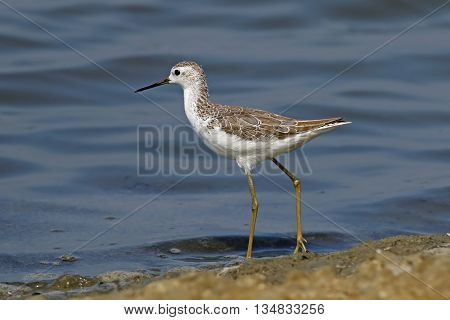 Marsh Sandpiper Tringa stagnatilis Shorebirds of Thailand