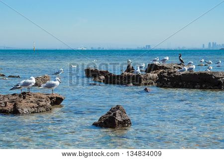 Flock of seagull on the rocky shore of Brigthon Beach in Melbourne.
