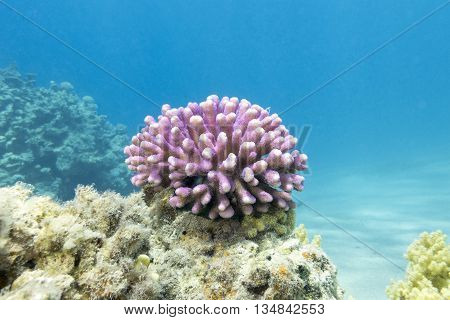 coral reef with pink finger coral in tropical sea underwater.