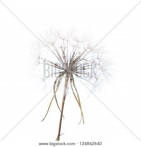 Ripe Seedhead Of Salsify