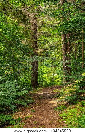 Narrow Forest Path In A Coniferous Forest