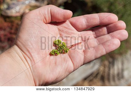 Young branch of grapes on a male hand.. Growing grapes in the vineyard. Growing wine for sale. Young grapes on the vine.