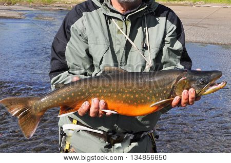 Arctic char trophy fishing. Arctic char caught on a spinning illuminated by the sun.