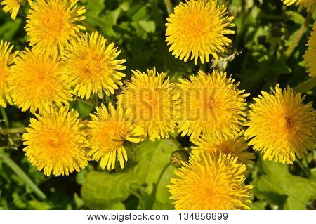 Spring yellow dandelions. Bright flowers dandelions on background of green meadows.