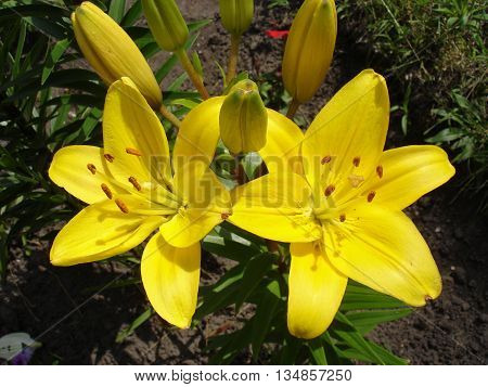 Asiatic hybrids lilium 'Yellow' yellow-green flowers and buds.