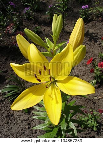 Asiatic hybrids lilium 'Yellow' yellow-green flower and buds.