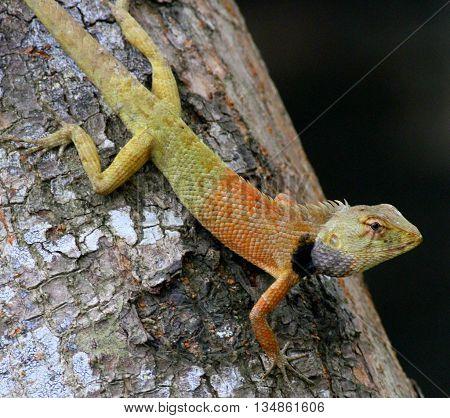 colorful Oriental Garden Lizard on a tree trunk near Songkhla, Thailand