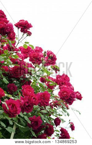 Bush of roses isolated on a white background