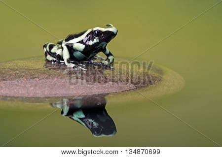 Poison Dart Frog (Dendrobates Auratus) reflected in water