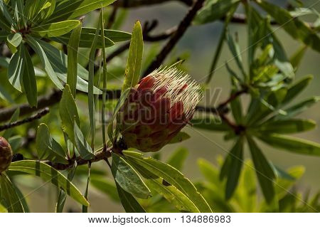 Protea flowers, South African flowering plants, sugarbushes
