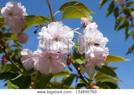 Blooming beauty of Sakura in the spring