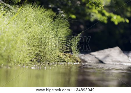 horsetail equisetum grass green water plant wood nature sylvaticum summer background closeup leaf spring macro dew morning beauty natural fresh environment field forest meadow drop botany herb beautiful bright space texture
