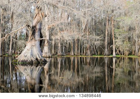 A massive Bald Cypress casting a beautiful reflection in a pristine Louisiana swamp.