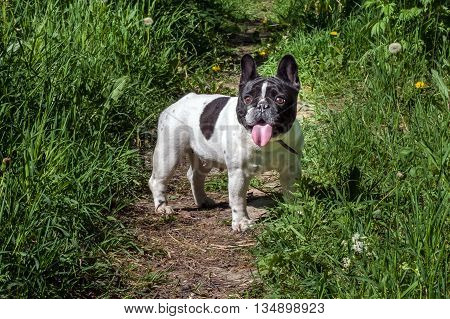 Beautiful French bulldog black and white in color with a pink tongue. The dog for a walk in the Park. Man's best friend.