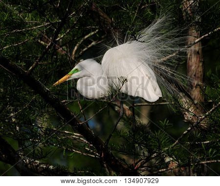 Image of a Great Egret exhibiting beautiful, soft breeding plumage in a South Louisiana rookery