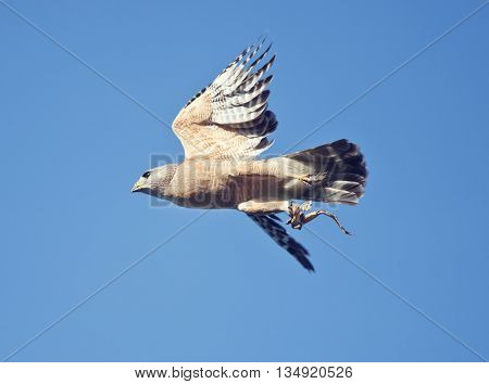 Red Shouldered Hawk in flight with a frog leg in its talons