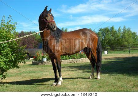 Peruvian Paso Horse Looking Away