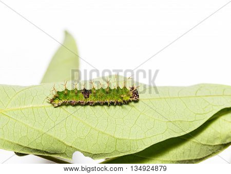 Caterpillars Of Colour Segeant Butterfly In Latest Instar