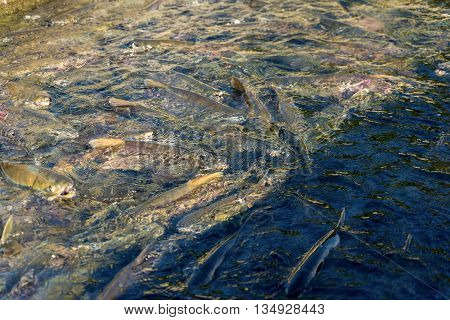 run of many salmon for spawning in river if Sakhalind island