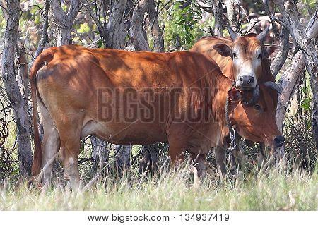 Thai Brahman bull snuggling against his mother cow, swamp near Songkhla, Thailand