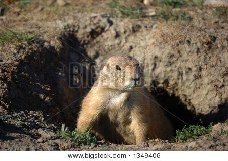 Prairie Dog Peeking Out