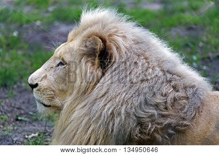 Portrait of a Lion lying on grass