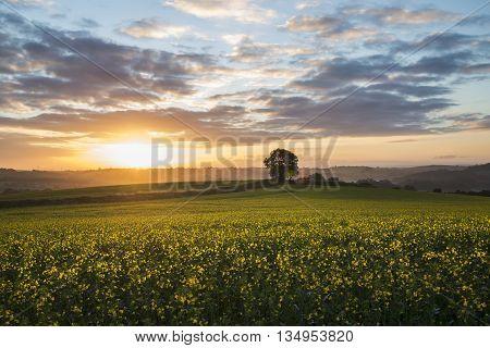 Cloudy sunrise in the rape seed fields, cornwall, uk
