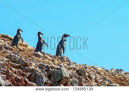 Humbold Penguins in Paracas Peru, South America