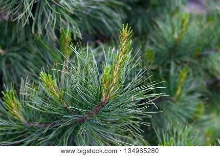 Flowering pine closeup. Young runaway cedar. Russia Siberia. Young pine trees, and sprouts.