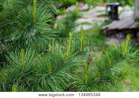 Flowering pine closeup. Young runaway cedar. Young pine trees, and sprouts. Russia Siberia.