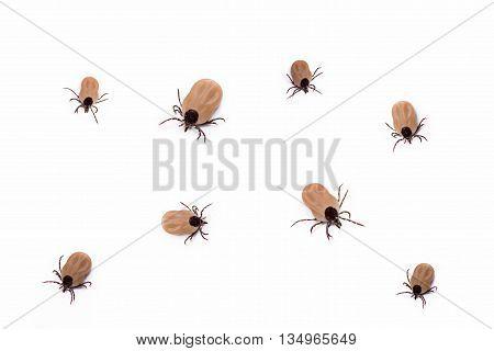 group of bloodsucking ticks alive isolated on white background