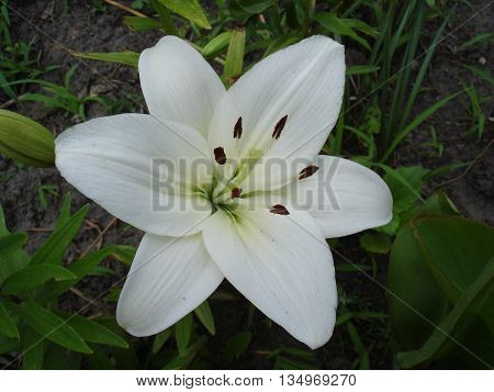 Hybrid lilium 'Donatello' one white flower .