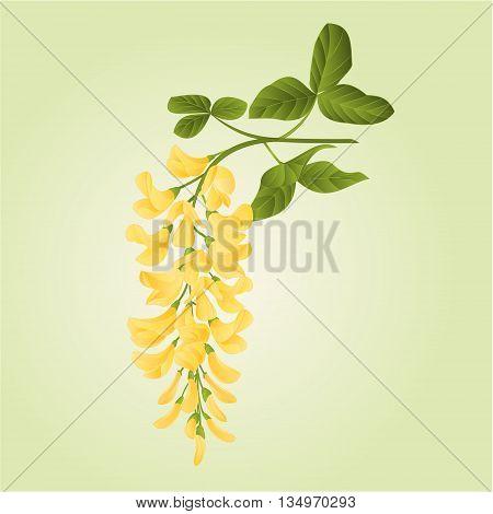 Laburnum branch decorative shrub nature background vector illustration