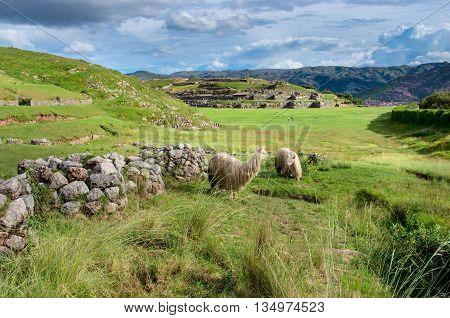 Lama at Sacsayhuaman ruins in Cuzco Peru.