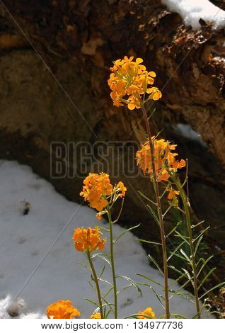 Western Wallflower at Lassen Volcanic National Park