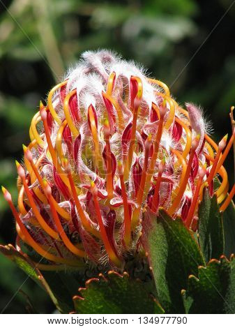 Protea, Found Only In The Western Cape South Africa