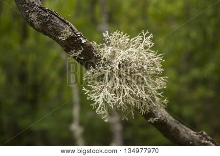 Iceland moss on tree branch closeup on green background