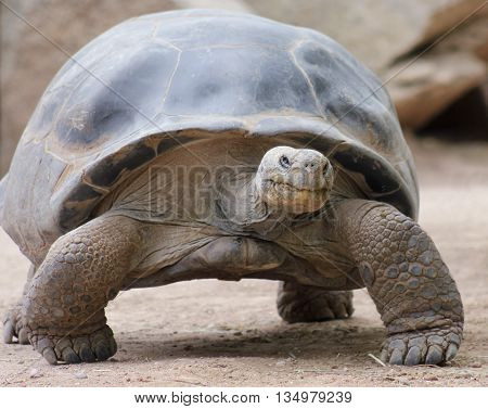 A Close Up of a Galapagos Land Tortoise